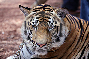 Tiger Stock Images - Image: 8437764