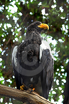 Sitting Eagle Royalty Free Stock Images - Image: 8437829