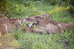 Lion Family Stock Image - Image: 8437841