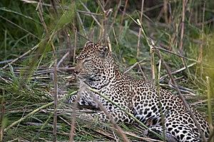 Leopard Resting Stock Photo - Image: 8437930