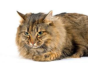 A Very Large Friendly Cat On White Stock Image - Image: 8437991