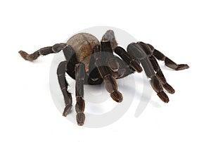 Tarantula Stock Photo - Image: 8438320
