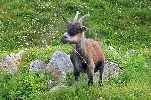 Billy Goat In Picardy Stock Photography - Image: 8438342