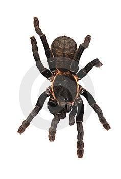 Tarantula Stock Photo - Image: 8438420