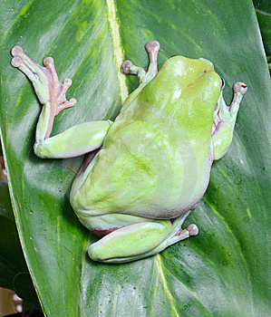 Frog Royalty Free Stock Image - Image: 8438626