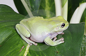 Green Tree Frog Stock Images - Image: 8438654