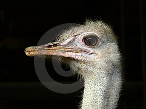 Head Of An Ostrich Stock Images - Image: 8438724
