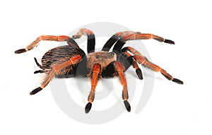 Red Tarantula Royalty Free Stock Photo - Image: 8438835