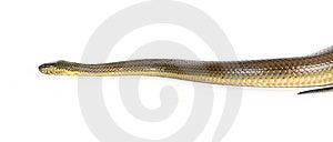 Black Water Snake Royalty Free Stock Image - Image: 8438886