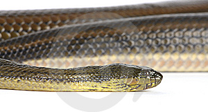 Black Water Snake Royalty Free Stock Image - Image: 8439346