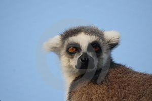 Lemur Catta Stock Images - Image: 8439434