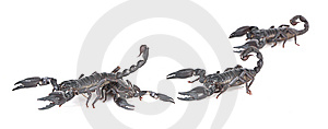 Scorpions Royalty Free Stock Images - Image: 8439479