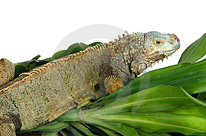Iguana Royalty Free Stock Photo - Image: 8439505
