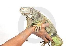 Iguana Obrazy Royalty Free - Obraz: 8439539