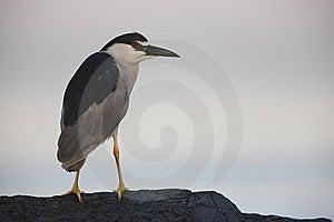 Black-crowned Night-Heron On Rock Royalty Free Stock Image - Image: 8439556