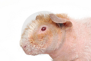 Guineapig Stock Photo - Image: 8439580