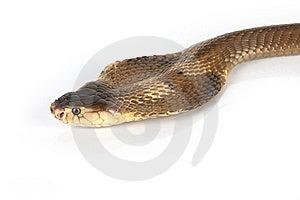 Cobra Stock Image - Image: 8440081