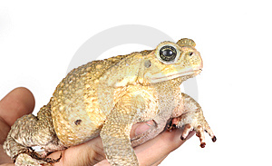 Toad Royalty Free Stock Photo - Image: 8440155