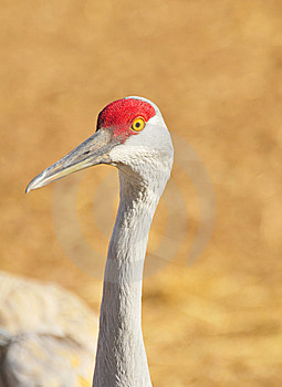Greater Sandhill Crane Royalty Free Stock Image - Image: 8440356