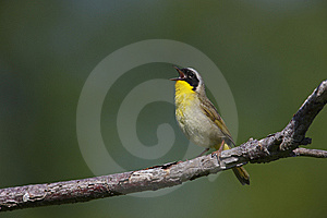 Common Yellowthroat (Geothlypis Trichas Trichas) Royalty Free Stock Image - Image: 8440586