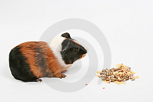 Rodent Royalty Free Stock Image - Image: 8440636