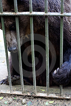 Brown Bear Behind Bars Stock Images - Image: 8440714