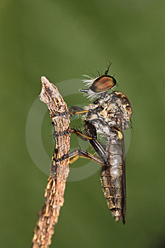 Robberfly Side View Stock Photography - Image: 8440752