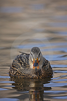 Mallard Female Swimming Royalty Free Stock Photography - Image: 8440887