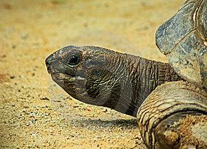 Giant Tortoise Close Up Royalty Free Stock Image - Image: 8440936