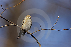 American Goldfinch (Carduelis Tristis Tristis) Stock Photography - Image: 8440942