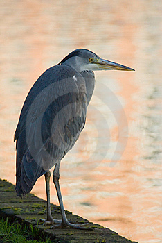 Fishing Heron Stock Photos - Image: 8441003