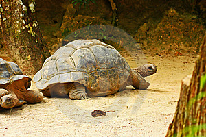 Giant Tortoise Royalty Free Stock Photo - Image: 8441055