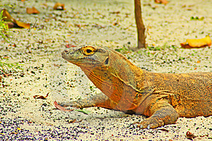 Komodo Dragon Close Up Stock Photos - Image: 8441103