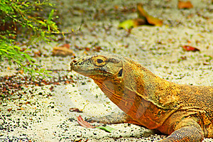 Komodo Dragon Close Up Stock Photography - Image: 8441122