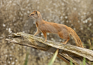Yellow Mongoose Royalty Free Stock Photo - Image: 8441405