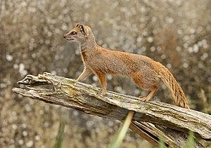 Yellow Mongoose Royalty Free Stock Photo - Image: 8441405