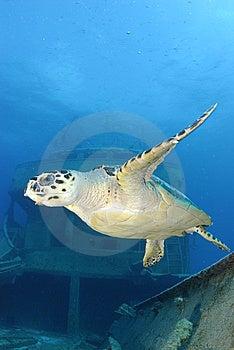 Hawksbill Turtle Stock Image - Image: 8441491