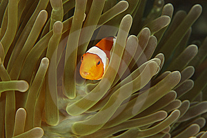 False Clown Anemonefish (Amphiprion Ocellaris) Royalty Free Stock Photos - Image: 8442308