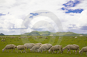Sheep Stock Photos - Image: 8442463