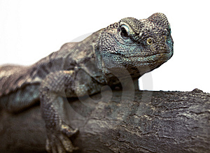 Lizard Royalty Free Stock Photo - Image: 8443125