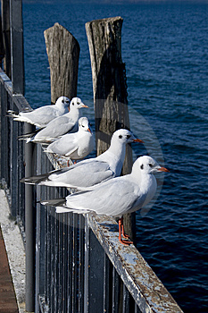 Resting Seagulls Stock Photos - Image: 8443913