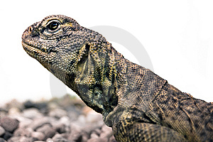Lizard Profile Royalty Free Stock Photos - Image: 8444038