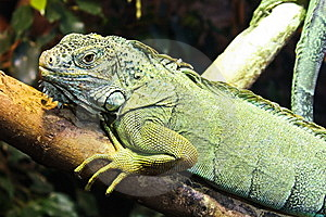 Iguana Resting On Branch Royalty Free Stock Photos - Image: 8444888