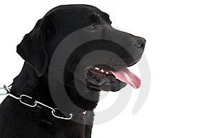 Labrador Isolated On White Royalty Free Stock Photography - Image: 8444907
