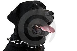 Beautiful Black Dog Royalty Free Stock Photo - Image: 8444935