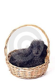 Black Poodle Isolated Stock Photo - Image: 8445040