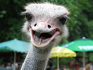 Ostrich Head Stock Image - Image: 8448181