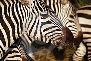 Zebra Closeup Royalty Free Stock Photography - Image: 8448237