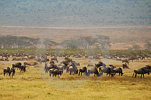 Wildebeast In Ngorongoro Stock Images - Image: 8448244