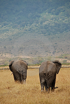 Two African Elephants Stock Photo - Image: 8448250